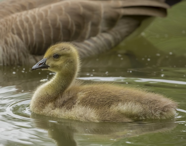Closeup shot of a duckling on the water near its mother