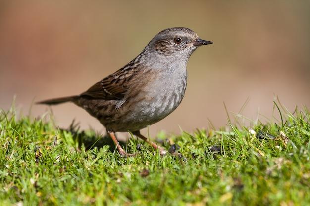 Closeup shot of a dunnock bird standing on a grass ground