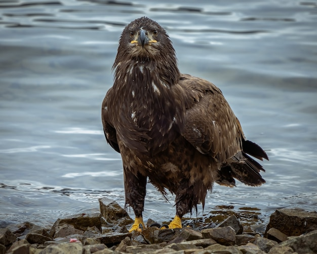 Closeup shot of an eagle standing near the water