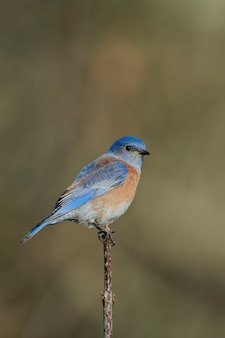 Primo piano di un uccello azzurro orientale seduto su un ramo di un albero con un'impostazione sfocata