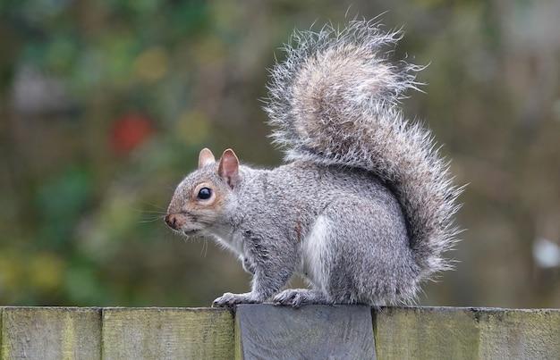 Primo piano di uno scoiattolo grigio orientale