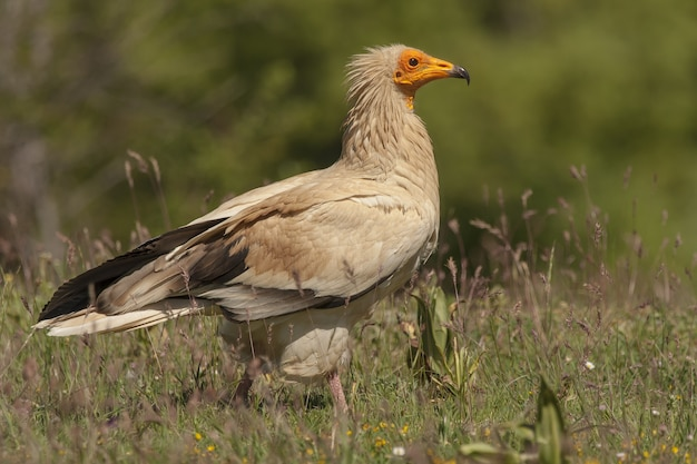 Closeup shot of an egyptian vulture in the field with a blurred background
