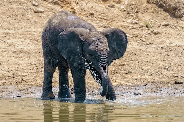 Closeup shot of an elephant drinking and playing with the water of the lake during daylight