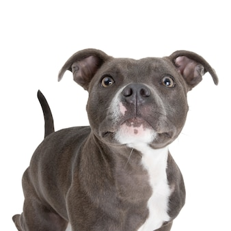 Closeup shot of english staffordshire bull terrier with white