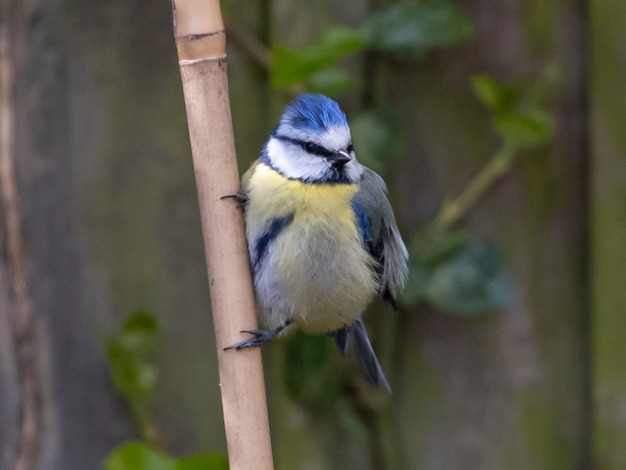 Closeup shot of a eurasian blue tit perched on a tree branch