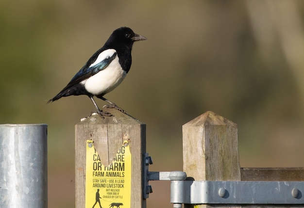 Closeup shot of a eurasian magpie perched on a wooden fence
