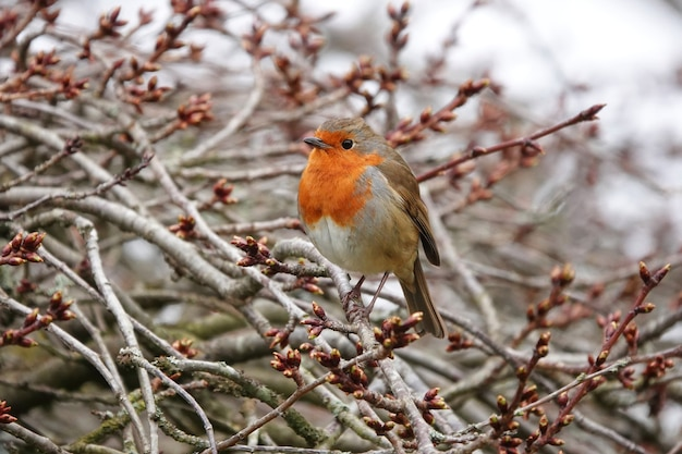 Closeup shot of a european robin on branch