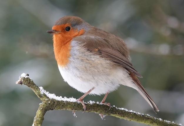 Closeup shot of a european robin on a branch