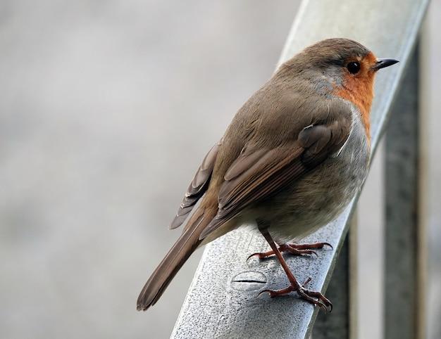 Closeup shot of a european robin