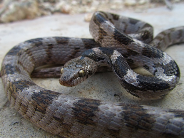Closeup shot of a european soosan cat snake crawling on the ground in malta