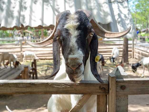Closeup shot of the face of the goat