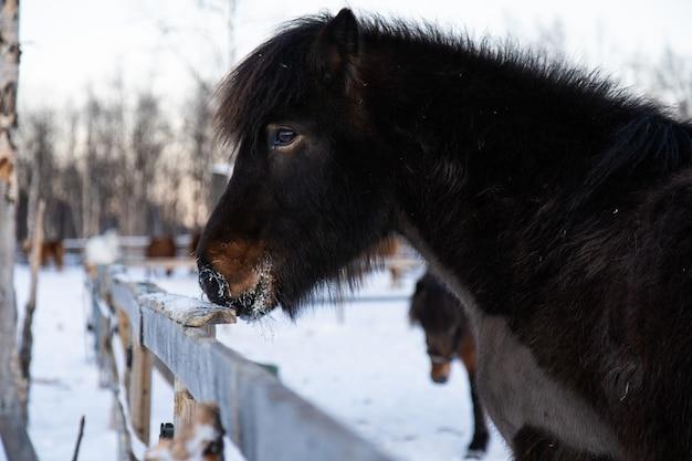 Colpo del primo piano di un animale da fattoria facendo una passeggiata sulla campagna innevata nel nord della svezia