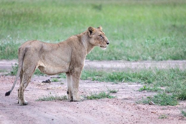 Closeup shot of a female lion standing on the road near the green valley