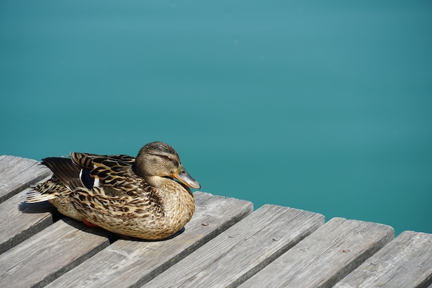 Closeup shot of a female mallard duck resting on a wooden pier