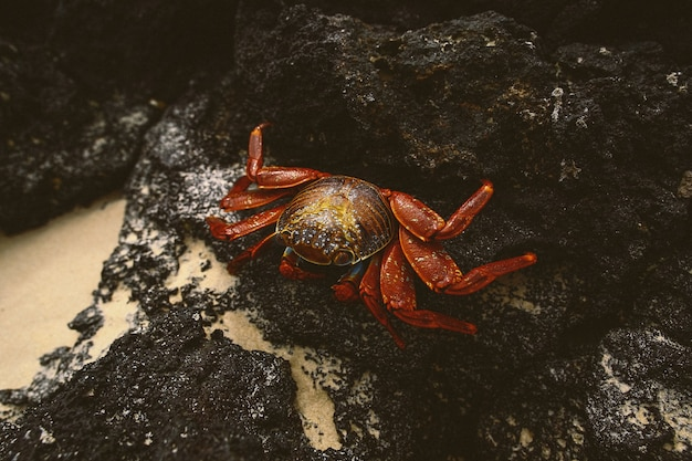 Closeup shot of a fiddler crab on the rocks