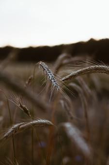Primo piano di un campo di grano triticale al tramonto