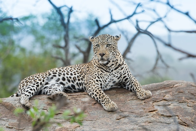 Closeup shot of a fierce-looking african leopard resting on the rock