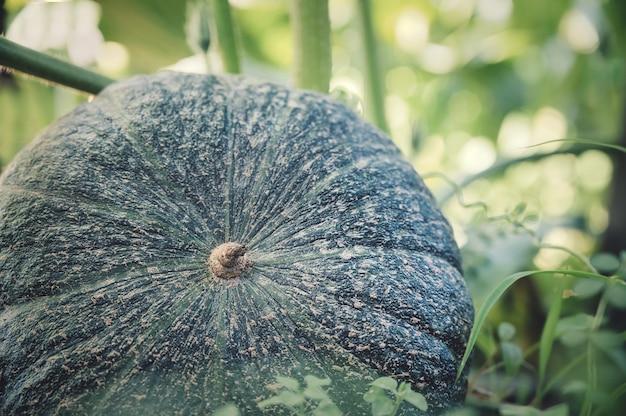 Closeup shot of figleaf gourd