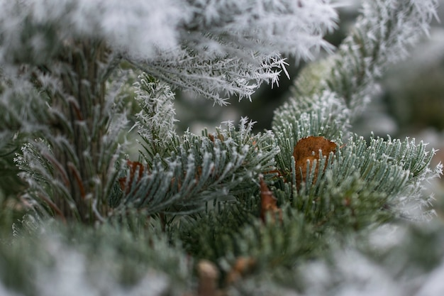Closeup shot of a fir tree branch covered with snow