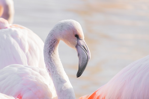 Closeup shot of a flamingo showing its distinct curved beak
