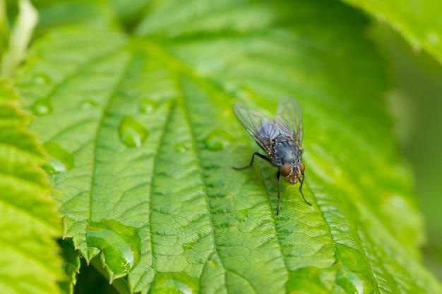 Colpo del primo piano di una mosca su una foglia verde ricoperta di gocce di rugiada