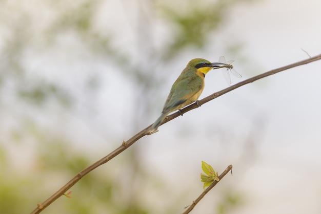 Colpo del primo piano di un uccello del pigliamosche che sta su un ramo con una libellula presa
