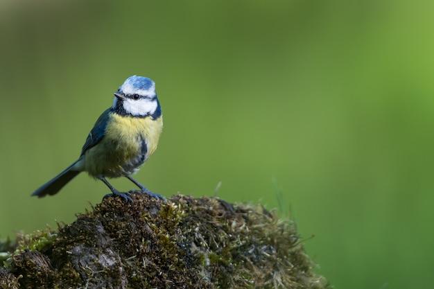 Colpo del primo piano di un uccello pigliamosche con piume colorate su una roccia ricoperta di muschio