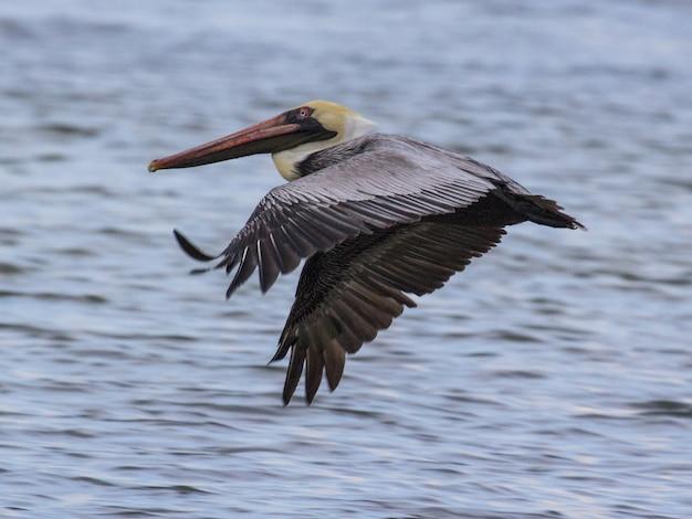 Closeup shot of a flying pelican