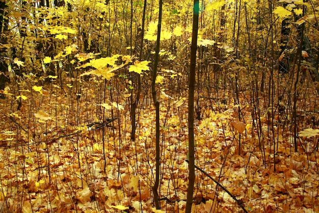 Closeup shot of a forest with bare trees and the yellow autumn leaves on the ground