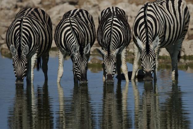 Colpo del primo piano di quattro zebre che bevono tutti insieme in una pozza d'acqua