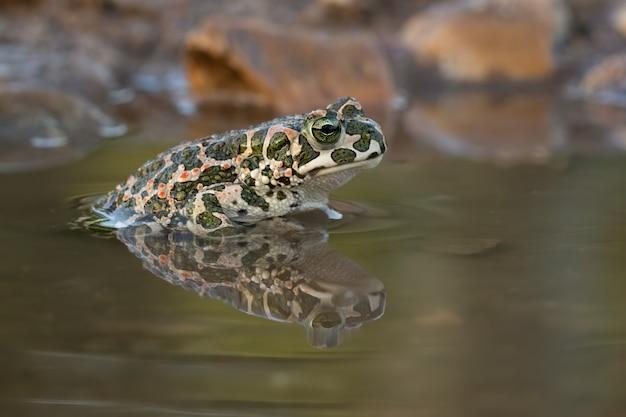 Primo piano di una rana in un lago in