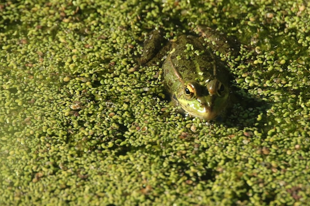 Closeup shot of a frog swimming in the green swamp