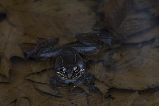 Colpo del primo piano di una rana che nuota nello stagno