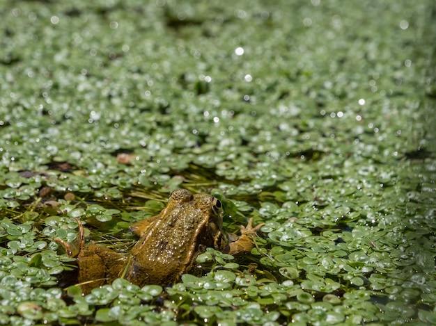 Colpo del primo piano di da sulla palude con piante acquatiche verdi galleggianti