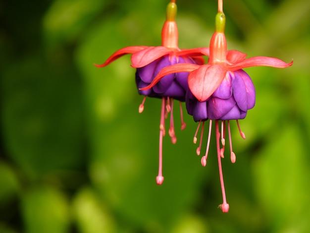 Closeup shot of fuchsia flowers