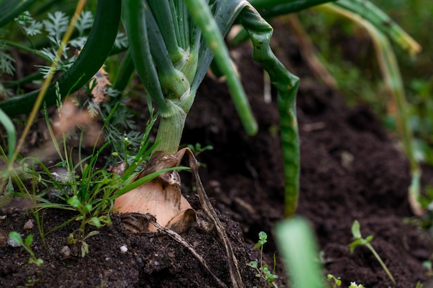 Closeup shot of garlic plant in the soil