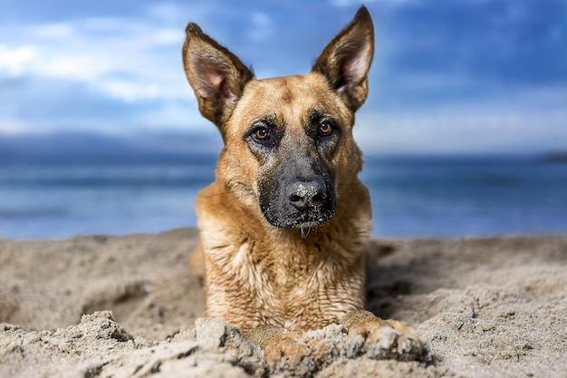 Colpo del primo piano di un cane pastore tedesco su un paesaggio marino