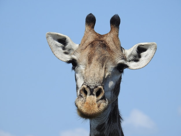 Closeup shot of giraffe head on blue sky background in south africa