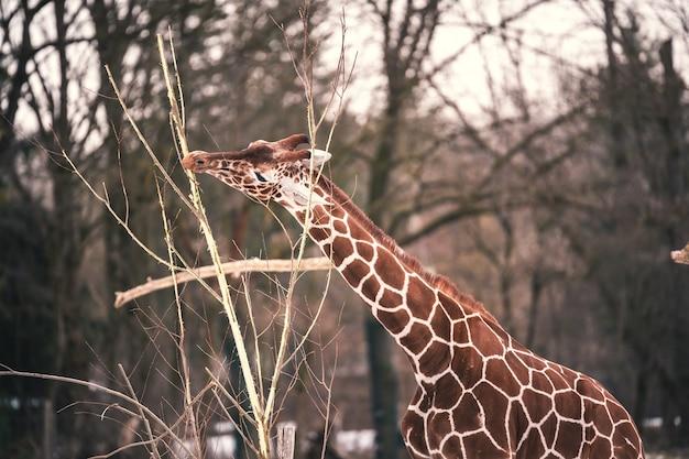 Colpo del primo piano di una giraffa con un bel modello di mantello marrone che mangia le ultime foglie di un giovane albero