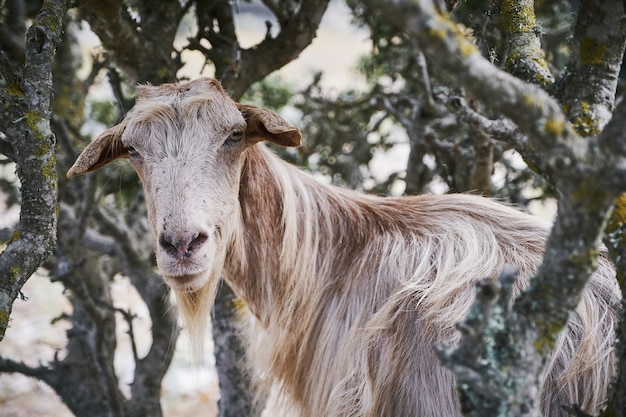 Colpo del primo piano di una capra nella campagna di aegiali, isola di amorgos, grecia