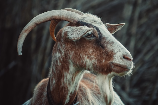 Closeup shot of a goat behind a blurry background