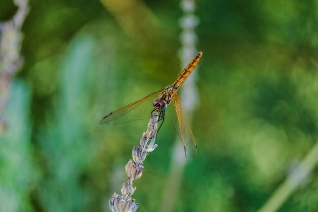 Colpo del primo piano di una libellula dorata su una pianta