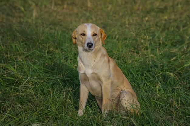 Colpo del primo piano di un labrador dorato che si siede sull'erba