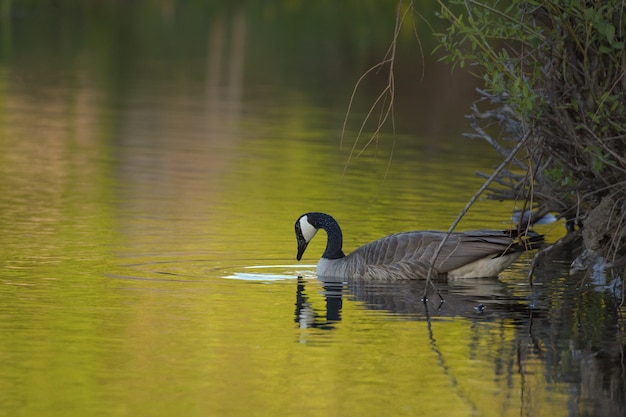 Closeup shot of a goose in the water near plants