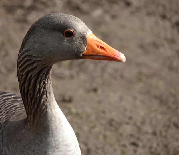 Closeup shot of a goose