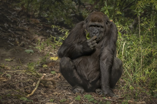 Closeup shot of a gorilla sniffing its finger while sitting with a blurred background