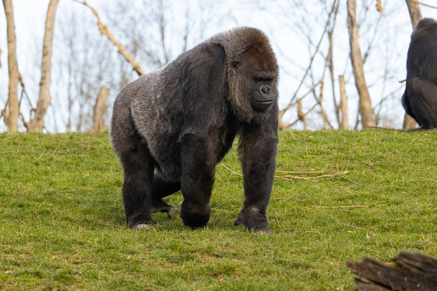 Closeup shot of a gorilla walking in a field covered in greenery