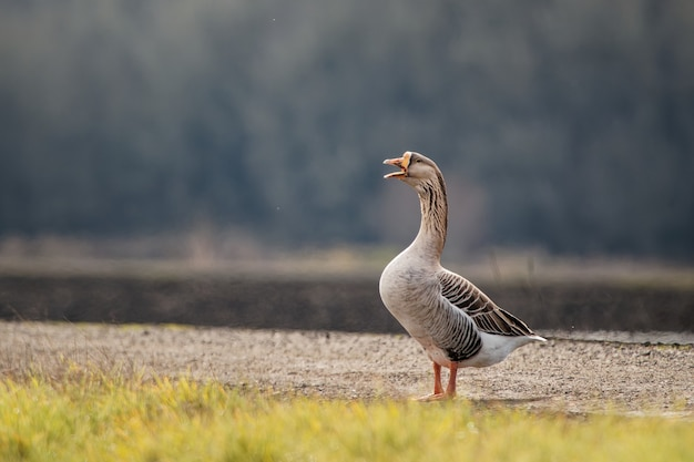 Closeup shot of a gray goose during the daytime