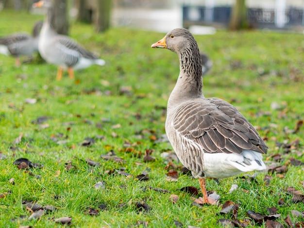 Closeup shot of a gray goose on a field