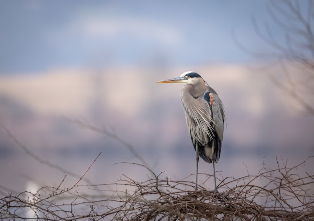 Closeup shot of a gray heron on a tree branches